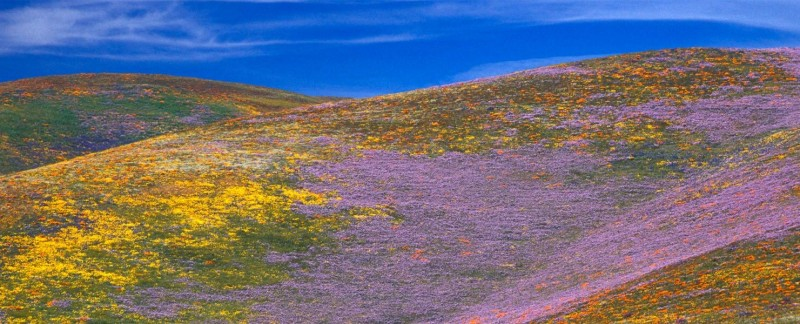 Wildflowers in Gormon, CA