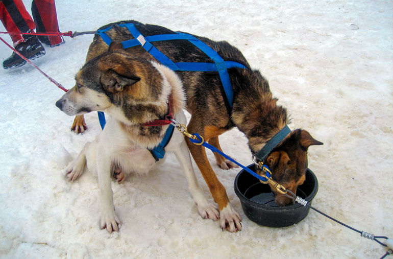 Hungry Dogs after Dog Sledding