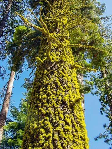 Moss covered tree in Yosemite