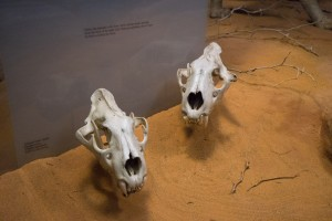 Skulls from Lions of Tsavo